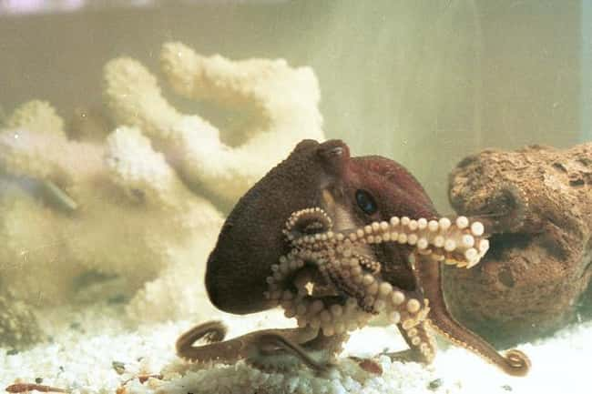 Most Octopuses Tend To Be Lone is listed (or ranked) 5 on the list Weird Animal Facts That Will Make You Sad