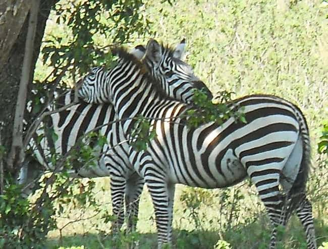 Zebras Can't Sleep Alone is listed (or ranked) 11 on the list Weird Animal Facts That Will Make You Sad