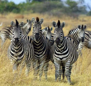 Zebras Can't Sleep Alone is listed (or ranked) 2 on the list Weird Animal Facts That Will Make You Sad