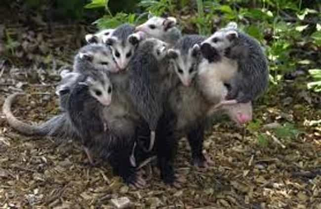 Mother Opossums Carry Their Ba... is listed (or ranked) 2 on the list Weird Animal Facts That Will Make You Sad