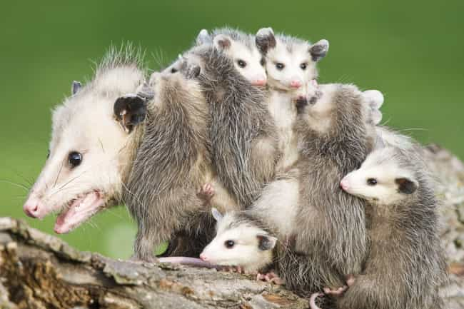 Mother Opossums Carry Th... is listed (or ranked) 2 on the list Weird Animal Facts That Will Make You Sad