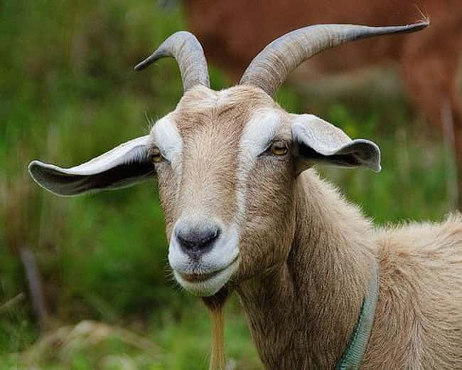 Goats Have Nearly 360 Degree V is listed (or ranked) 14 on the list Weird Animal Facts That Will Make You Sad