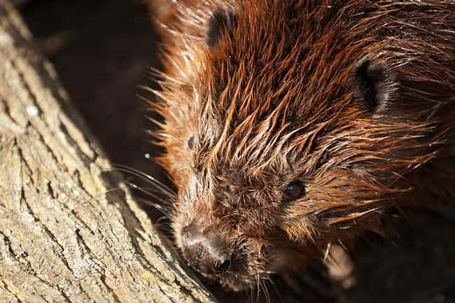 Beavers' Teeth Never Stop  is listed (or ranked) 7 on the list Weird Animal Facts That Will Make You Sad