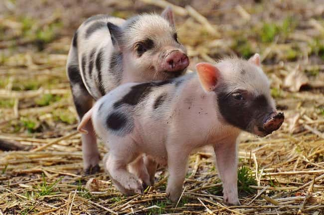 These Pigs Have Been Proven to is listed (or ranked) 9 on the list Weird Animal Facts That Will Make You Sad