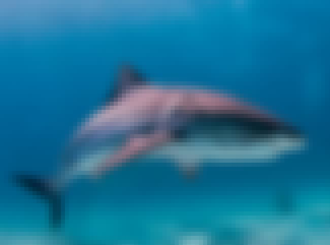 If a Shark Approaches, Play De... is listed (or ranked) 2 on the list Shark Attack Myths and Facts... Debunked!