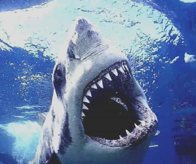 Sharks Can Smell Blood is listed (or ranked) 3 on the list Shark Attack Myths and Facts... Debunked!