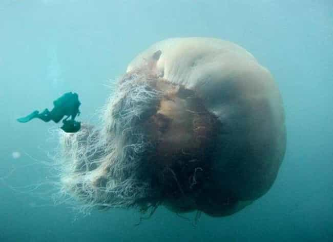 Lion's Mane Jellyfish is listed (or ranked) 6 on the list 28 Images That Prove You Have Thalassophobia