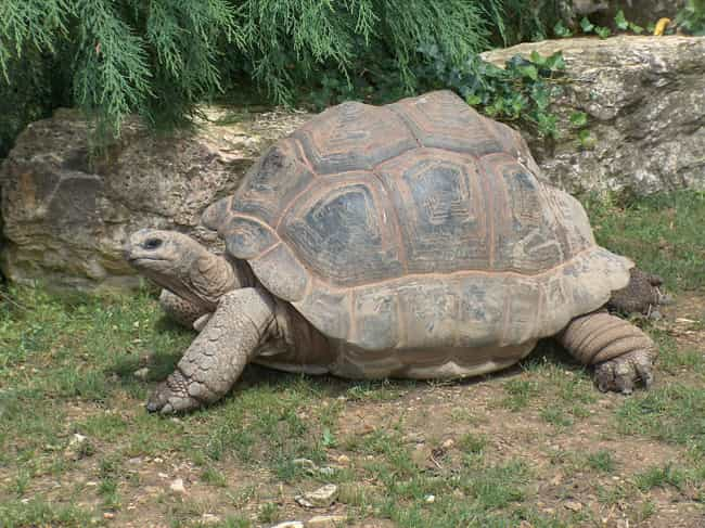 Adwaita the Aldabra Giant Tort... is listed (or ranked) 2 on the list Animals Who Lived Way Longer Than the Rest of Their Species