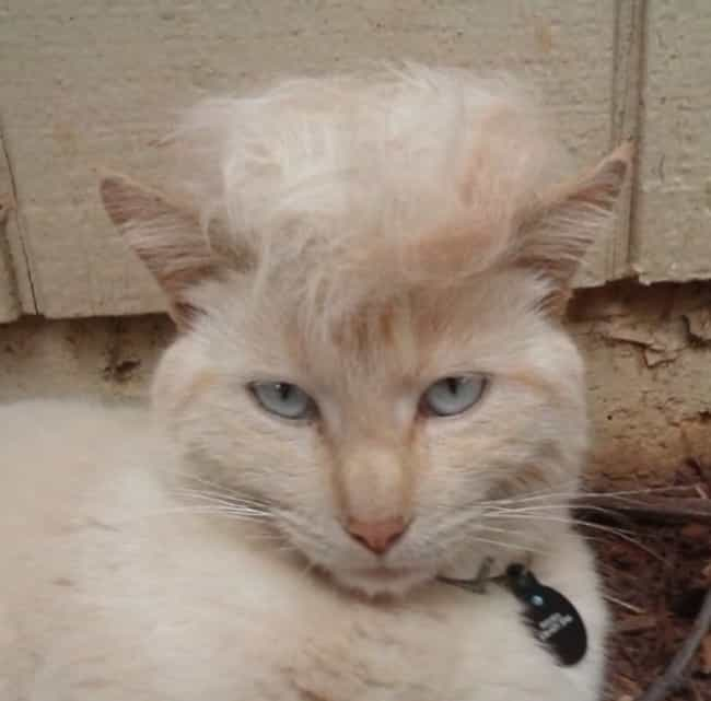 """You Call That a Birth Cer... is listed (or ranked) 4 on the list Cats Who Are Nailing Donald Trump's Hairstyle"