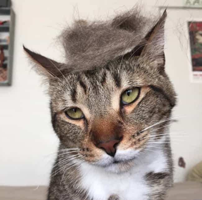 Cats Who Are Nailing Donald Trump's Hairstyle