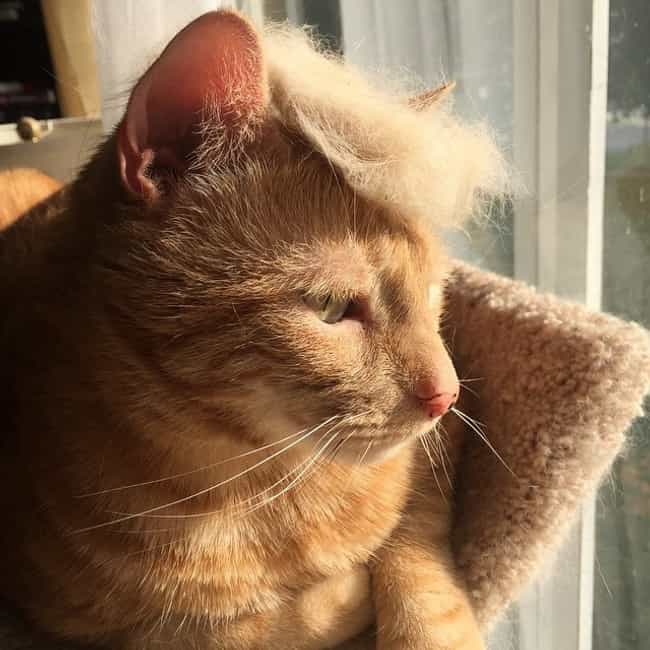 """Trump 2016: Because Even ... is listed (or ranked) 2 on the list Cats Who Are Nailing Donald Trump's Hairstyle"