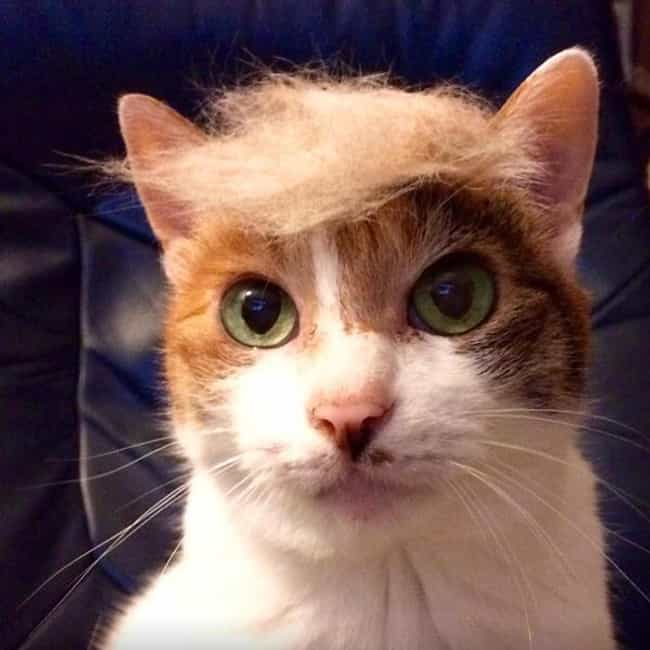 The Only Thing Bigger Than Thi... is listed (or ranked) 3 on the list Cats Who Are Nailing Donald Trump's Hairstyle