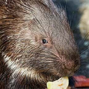 What Sound Do Porcupines Make  is listed (or ranked) 13 on the list The Funniest Jokes For Kids
