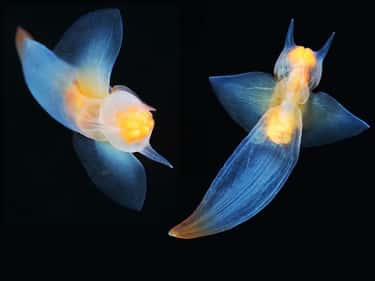 Sea Angels Are Ghostly Arctic  is listed (or ranked) 2 on the list The Coolest See-Through Ocean Animals