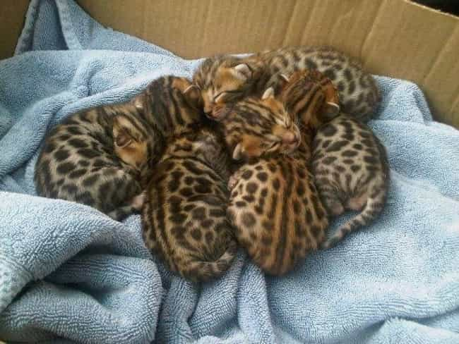 These Cheetahs Answer the Call... is listed (or ranked) 4 on the list The Sweetest Pet Cuddle Puddles