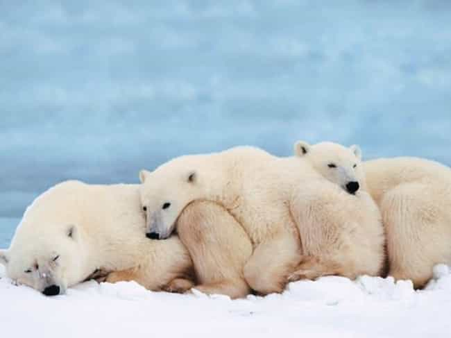 The Polar Bear Cuddle Puddle is listed (or ranked) 4 on the list The Sweetest Pet Cuddle Puddles