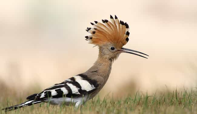 This Hoopoe with Its Sick Moha... is listed (or ranked) 1 on the list The Most Colorful Birds in the World