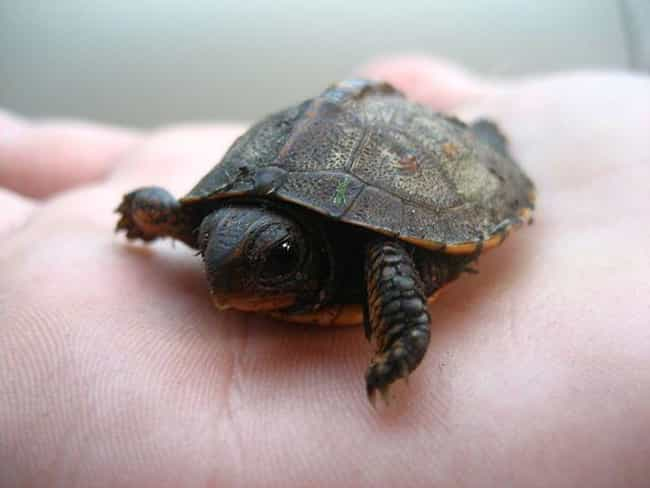 This Tiny Hatchling Tortoise I... is listed (or ranked) 3 on the list The Cutest Animals That Fit Right on Your Finger