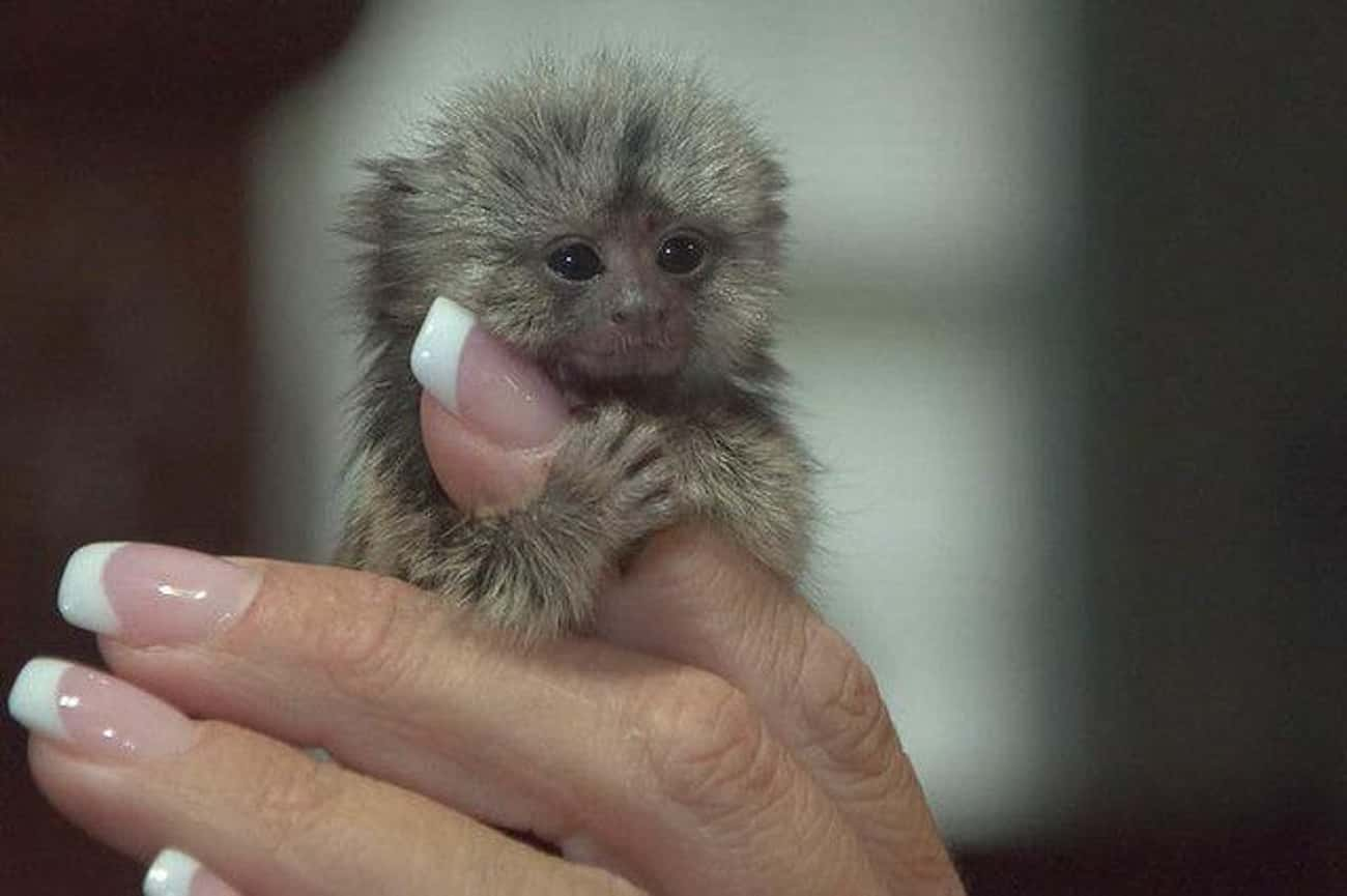 This Furry Little Finger Monke is listed (or ranked) 4 on the list The Cutest Animals That Fit Right on Your Finger
