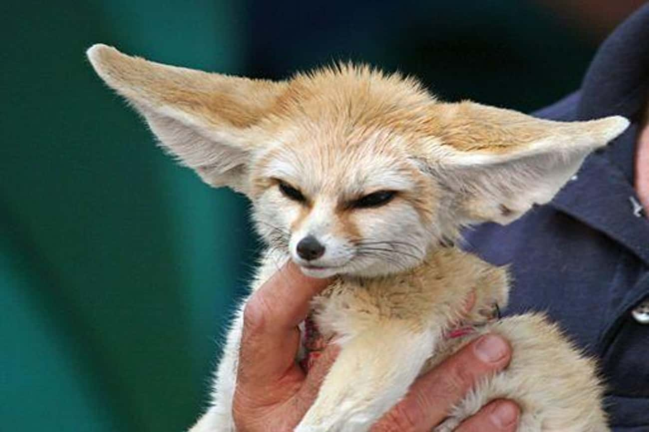 This Baby Fennec Fox Defies Th is listed (or ranked) 1 on the list The Cutest Animals That Fit Right on Your Finger
