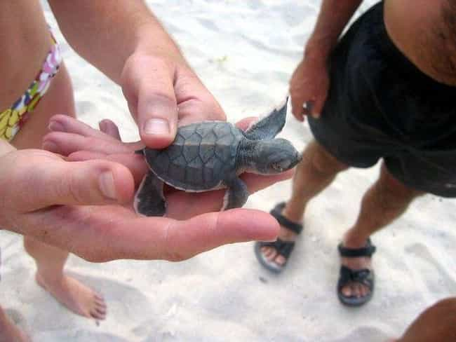 This Baby Sea Turtle Invites Y... is listed (or ranked) 2 on the list The Cutest Animals That Fit Right on Your Finger