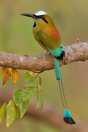 This Motmot with Killer Tail F is listed (or ranked) 2 on the list The Most Colorful Birds In The World