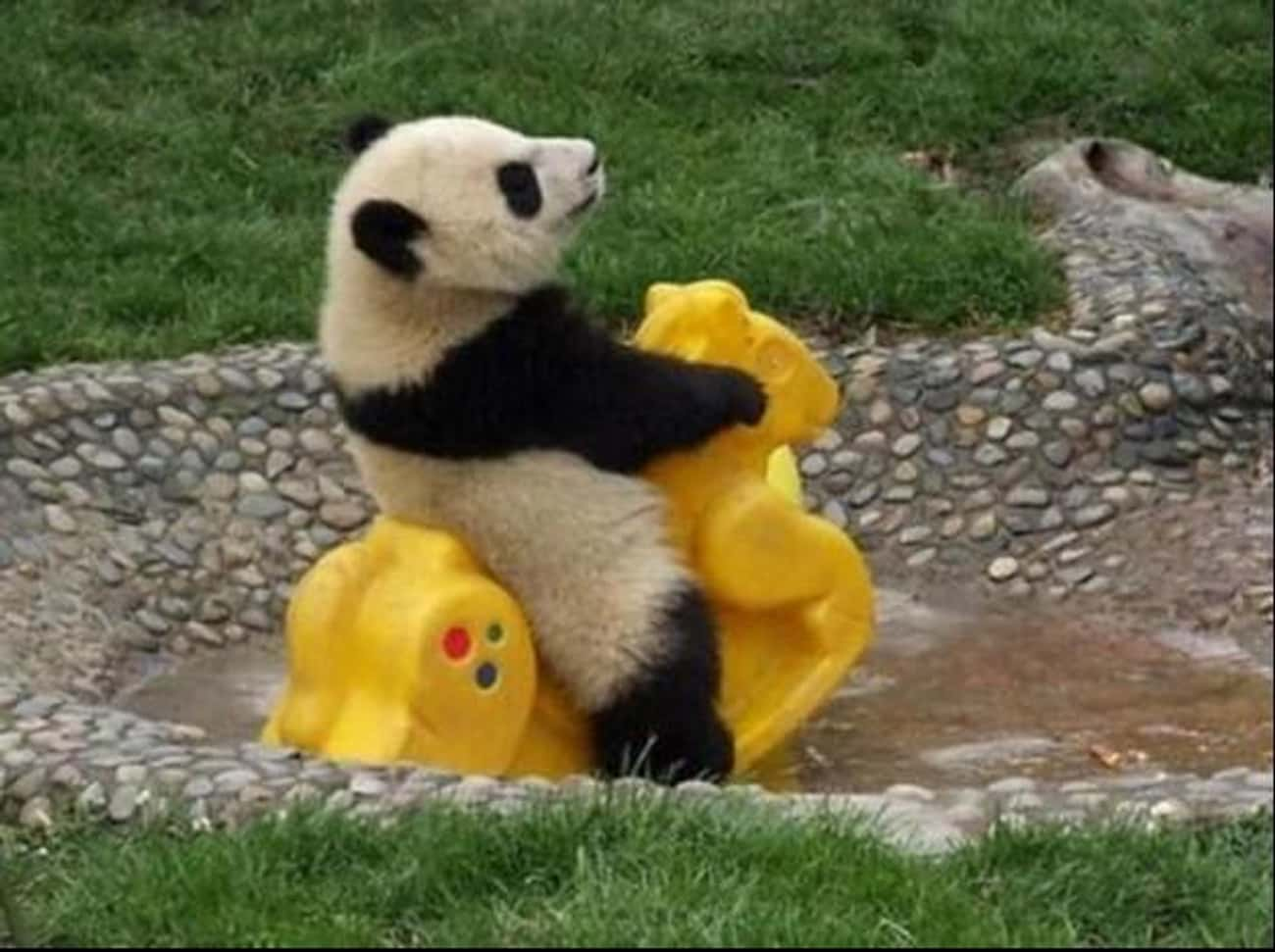 This Panda Is Just Enjoying Li is listed (or ranked) 1 on the list 38 Wonderful Pictures of Animals in Action