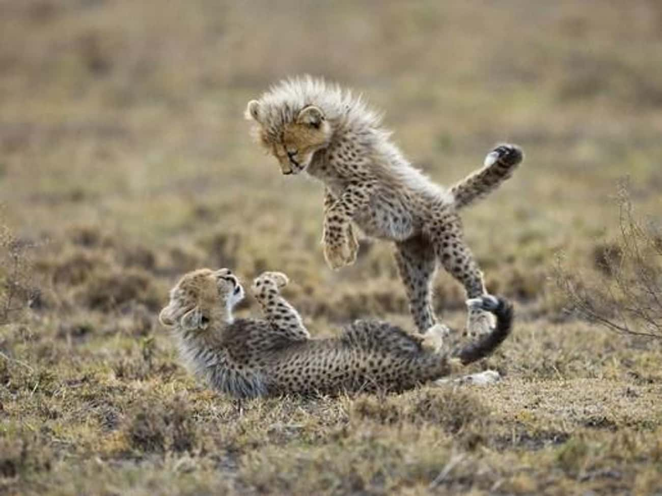 These Cheetah Cubs Are Messin' is listed (or ranked) 4 on the list 38 Wonderful Pictures of Animals in Action