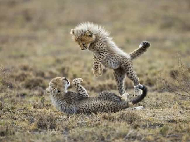 These Cheetah Cubs Are Messin'... is listed (or ranked) 4 on the list 37 Wonderful Pictures of Animals in Action
