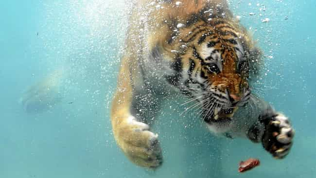 This Tiger Is Serious About Ea... is listed (or ranked) 3 on the list 37 Wonderful Pictures of Animals in Action