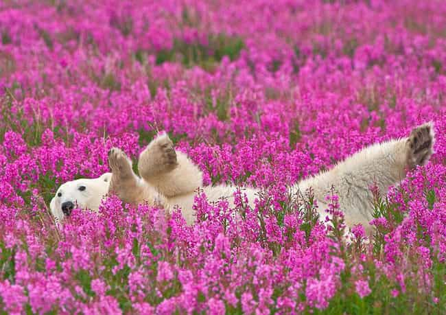 Polar Bear in the Flowers is listed (or ranked) 3 on the list Everyone's Spirit Animals in 2015