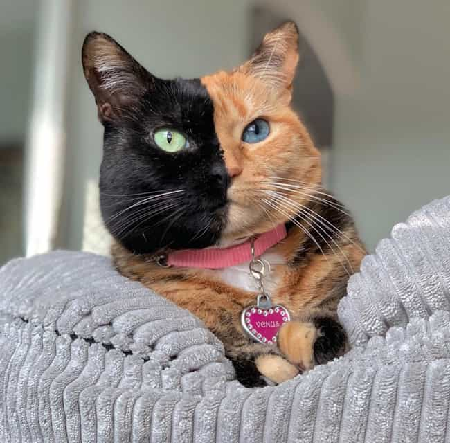 Venus The Two-Faced Cat ... is listed (or ranked) 1 on the list Cats with Totally Cool Markings