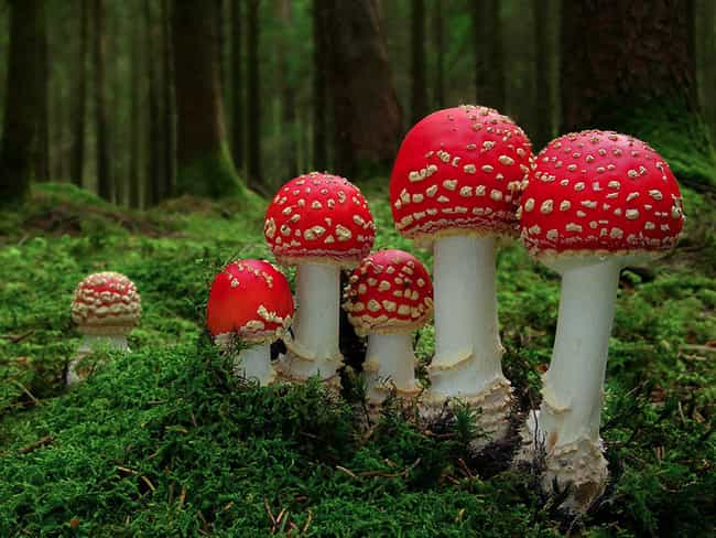 "These ""Fly Agaric"" Mus... is listed (or ranked) 2 on the list The Coolest and Trippiest Mushroom Pictures"