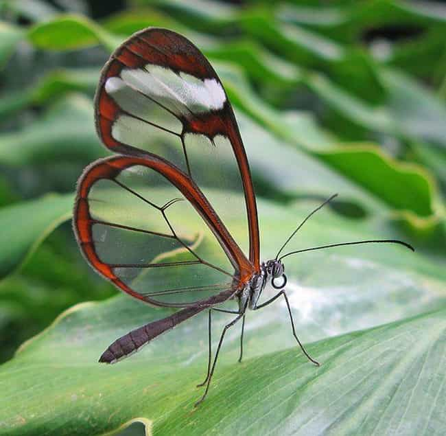 Costa Rican Glasswing Butterfl... is listed (or ranked) 4 on the list 33 Colorful Animals Who Look Photoshopped