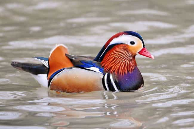 The Mandarin Duck of South Asi... is listed (or ranked) 3 on the list 33 Colorful Animals Who Look Photoshopped