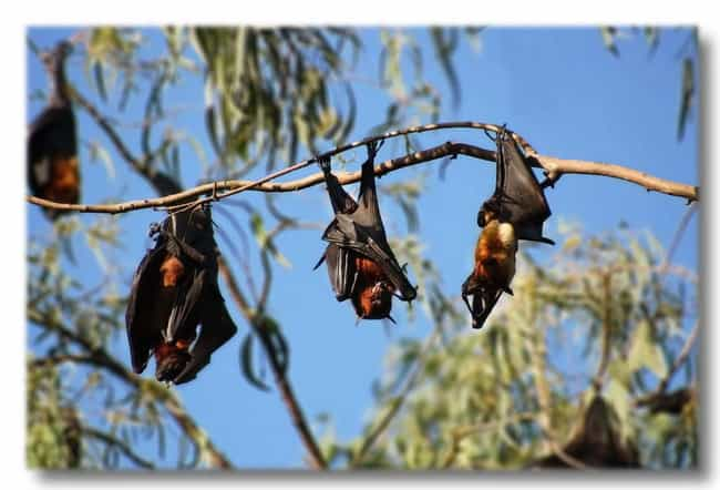 Female Chinese Fruit Bats Give... is listed (or ranked) 3 on the list Things You Didn't Know About Animal Sex