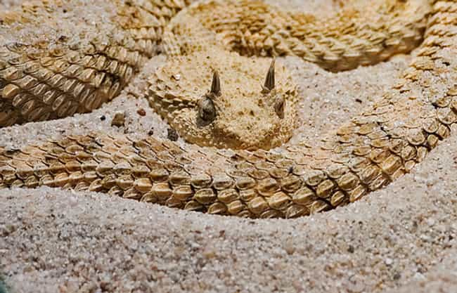 Horned Viper is listed (or ranked) 3 on the list 25+ Desert Creatures That Have Adapted To Extreme Conditions
