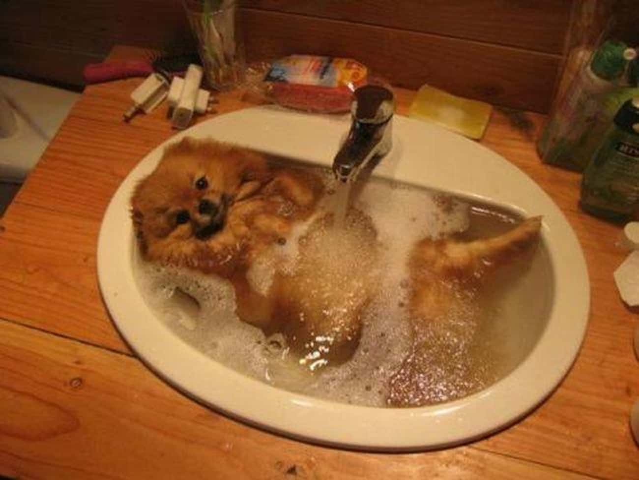 A Perfectly Pom-Sized Tub is listed (or ranked) 4 on the list 31 Squeaky Clean Animals Who Are Just Adorable