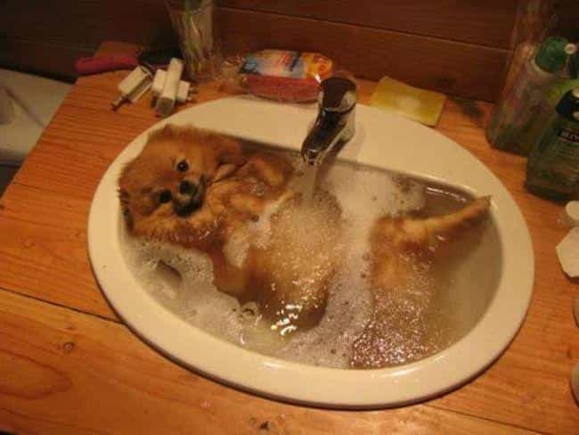 A Perfectly Pom-Sized Tub is listed (or ranked) 4 on the list 35 Squeaky Clean Animals Who Are Just Adorable