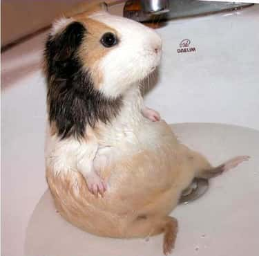 This Guinea Pig Is Too Chill is listed (or ranked) 5 on the list 31 Squeaky Clean Animals Who Are Just Adorable