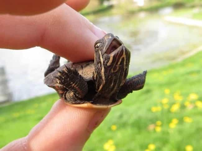 This Ticklish Turtle is listed (or ranked) 4 on the list 31 Animals Who Are Loving Life
