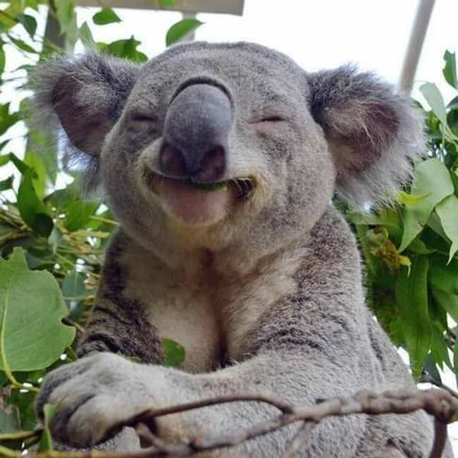 This Koala, Who Defies H... is listed (or ranked) 3 on the list 31 Animals Who Are Loving Life