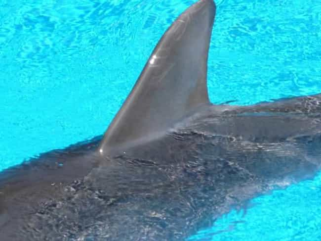 Dolphins Have Unique Dorsal Fi... is listed (or ranked) 4 on the list 23 Fun Facts You Should Know About Dolphins