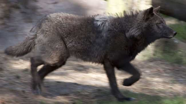 Wolves Can Run Up to 35 ... is listed (or ranked) 1 on the list Fun Facts You Should Know About Wolves