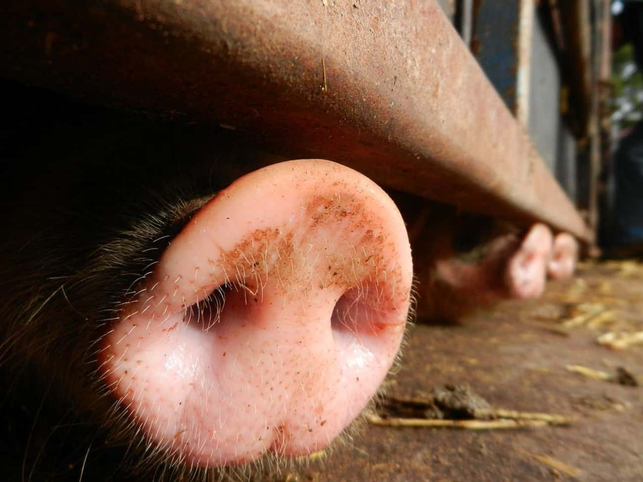 Pigs Have A Great Sense Of Sme is listed (or ranked) 4 on the list 17 Fun Facts You Should Know About Pigs That'll Make You Appreciate Them Even More