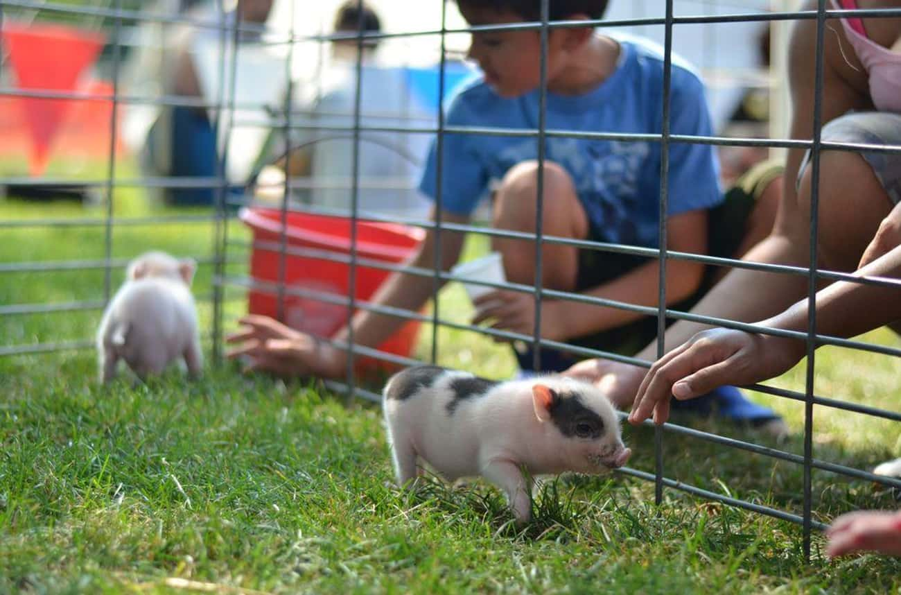 Pigs Are Smarter Than Children is listed (or ranked) 1 on the list 17 Fun Facts You Should Know About Pigs That'll Make You Appreciate Them Even More