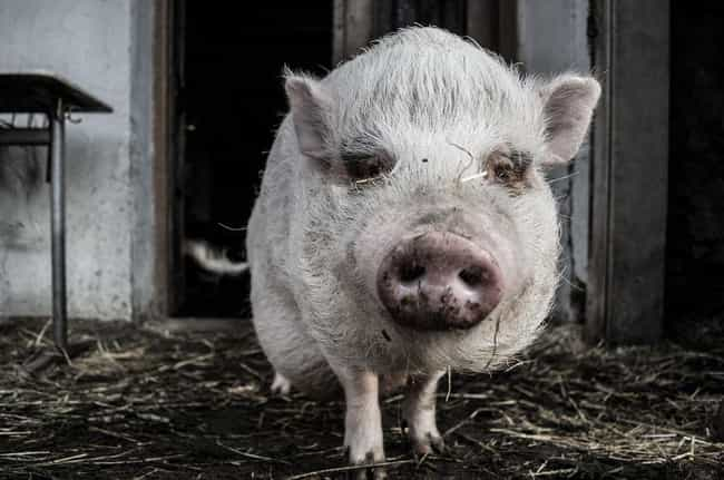 Pigs Spend Their Days Like Hum... is listed (or ranked) 3 on the list 17 Fun Facts You Should Know About Pigs That'll Make You Appreciate Them Even More