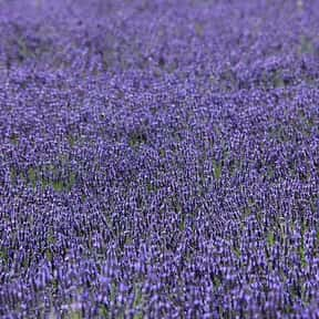Add Lavender Drops to the Insi is listed (or ranked) 9 on the list The Best Ways to Deal With Stinky Feet