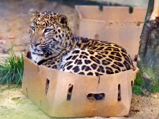 One Word: Box! is listed (or ranked) 1 on the list The Cutest Pictures of Big Cats Acting Like House Cats