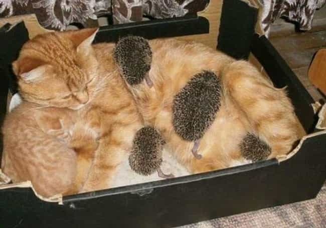 Hedgehog Mom Struggles with Wh... is listed (or ranked) 1 on the list 28 Cats Who Are Also Tables